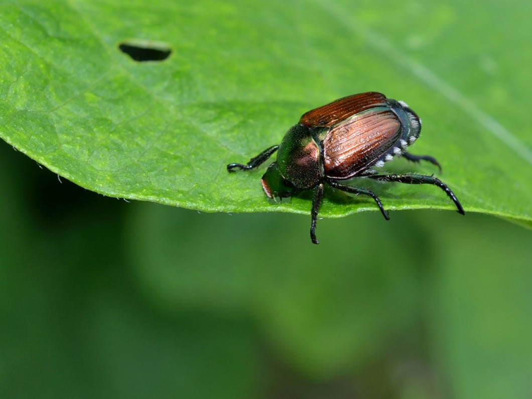 Don't Let Japanese Beetles Take Over Your Yard